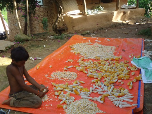 it is the time of maize harvesting in village